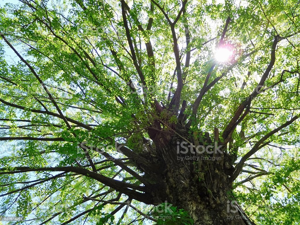 The old and large gingko tree stock photo