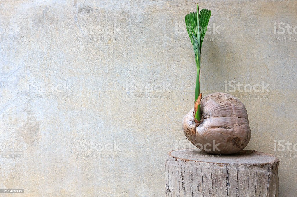 The old sprout of coconut tree on concrete wall stock photo