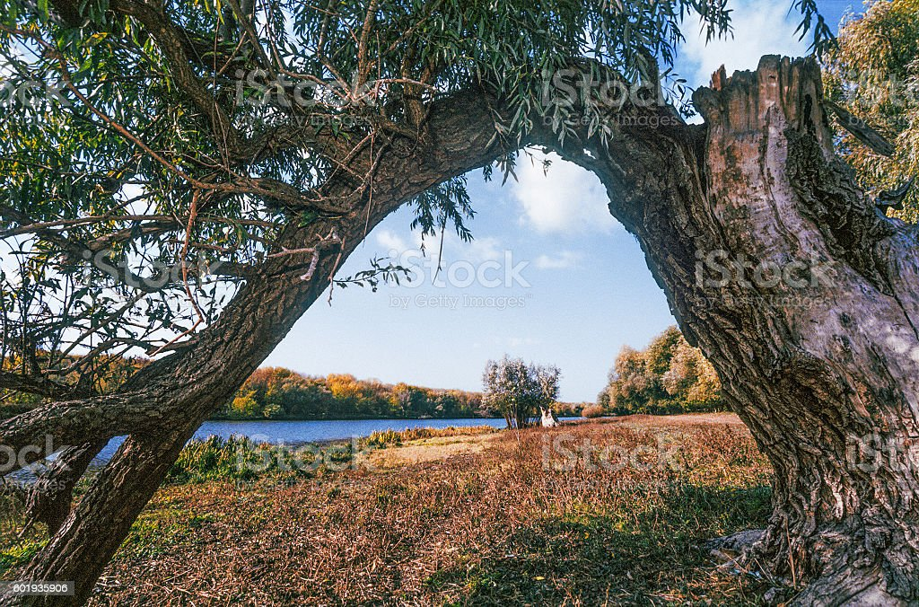 The old weeping willow, autumn, river, Astrakhan region stock photo