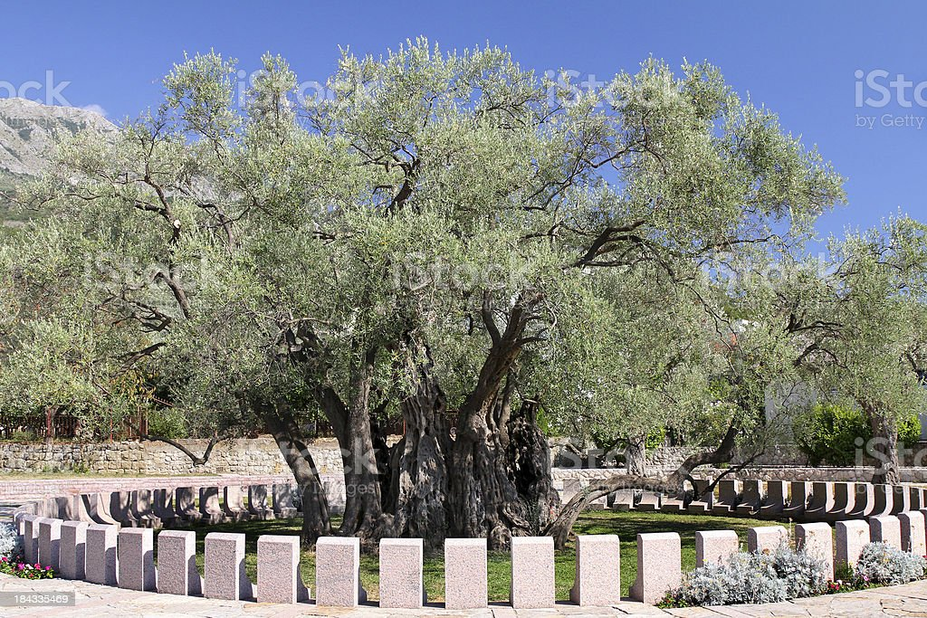 The oldest olive tree in Europe royalty-free stock photo