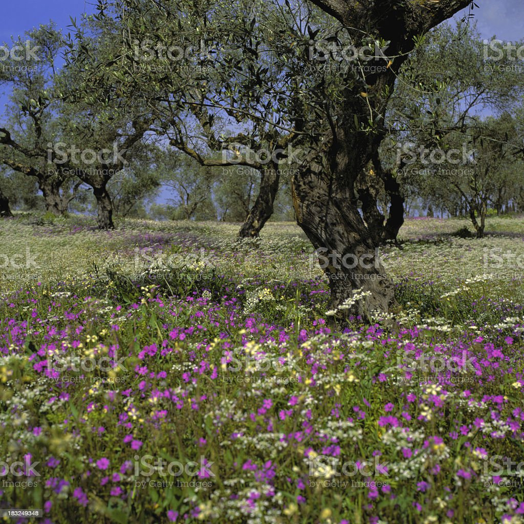 The Olive Grove royalty-free stock photo