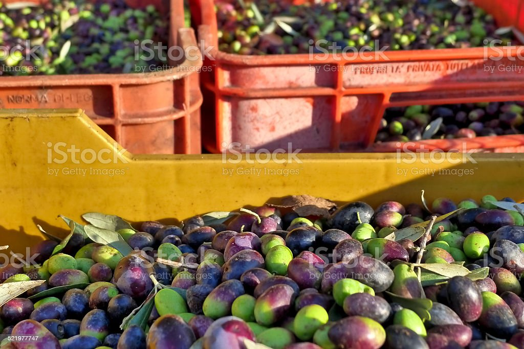 The olive harvest. stock photo