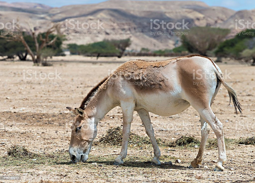 The onager in Israeli Nature Reserve stock photo