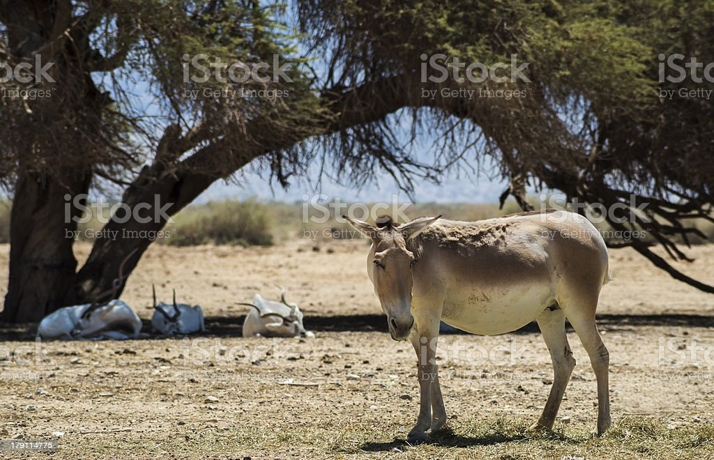 The onager (Equus hemionus) is a brown Asian wild ass stock photo