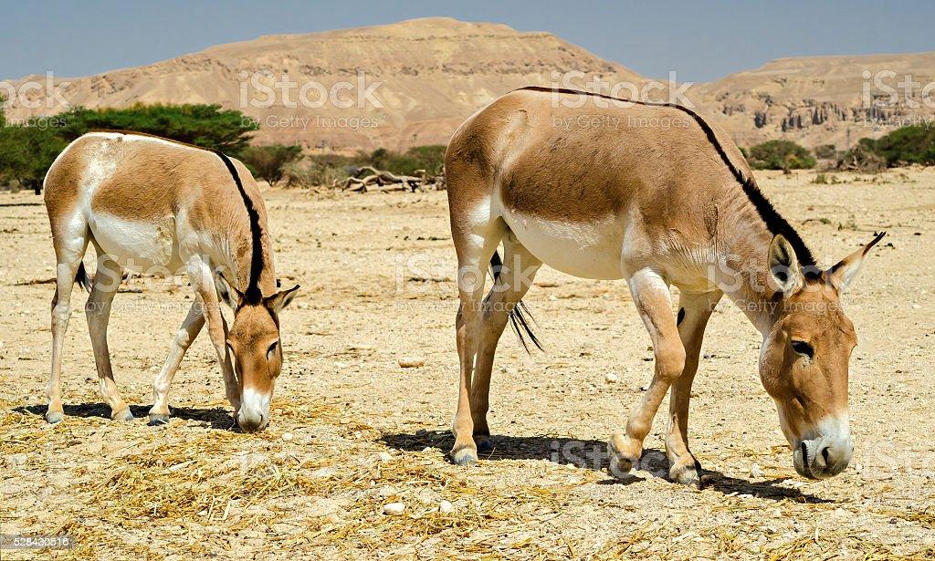 The onager (Equus hemionus) stock photo