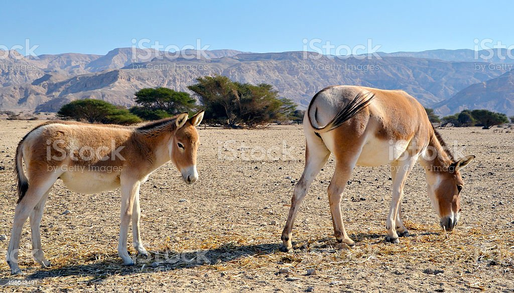 The onagers in Israeli Nature Reserve stock photo