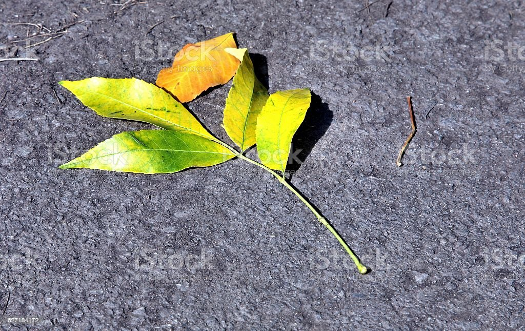 the only bright yellow leaf on the ground stock photo