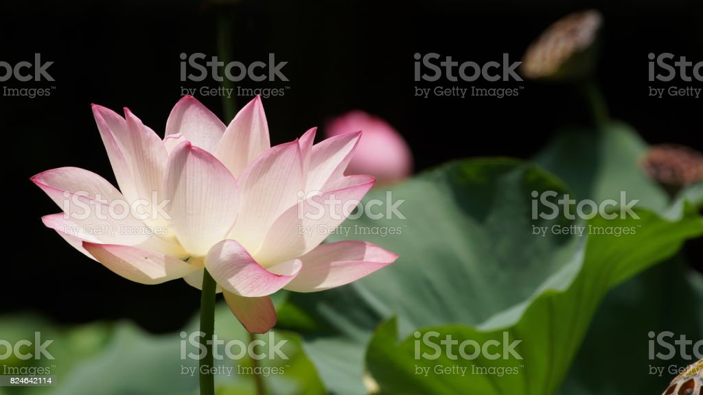the opening pink lotus in hot summer in rain in hong kong university of lily pond stock photo