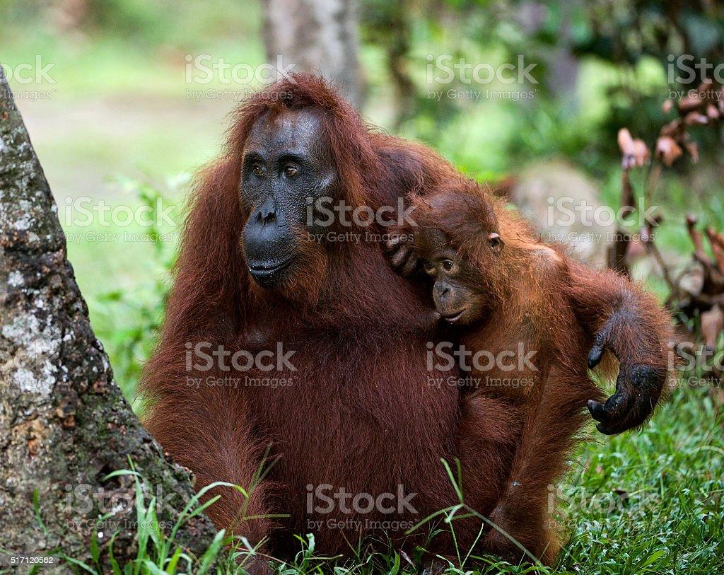 The orangutan Mum with a cub stock photo