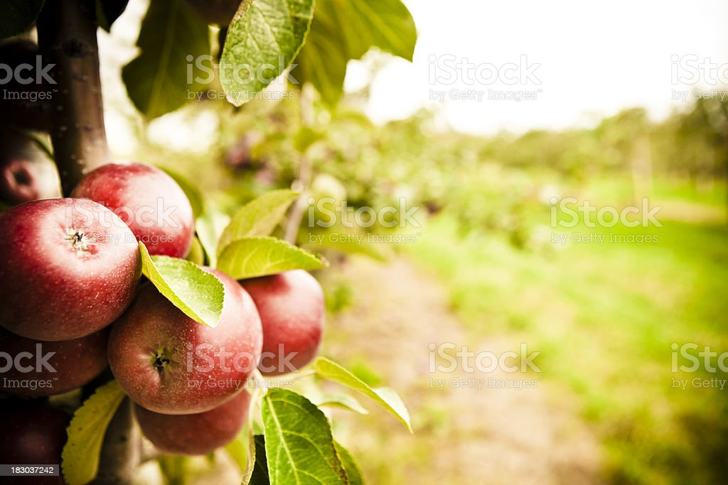 The Orchard stock photo