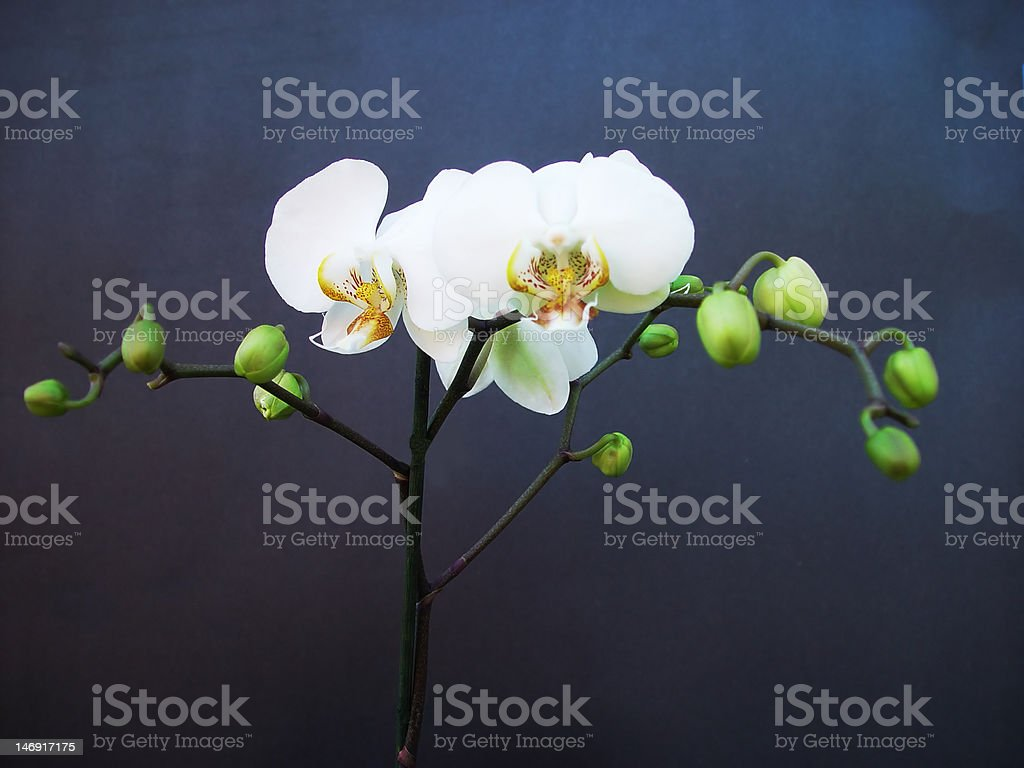 The orchid royalty-free stock photo