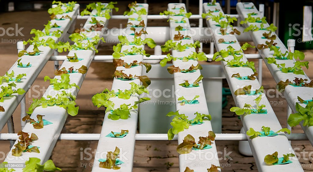 The Organic hydroponic vegetable garden royalty-free stock photo