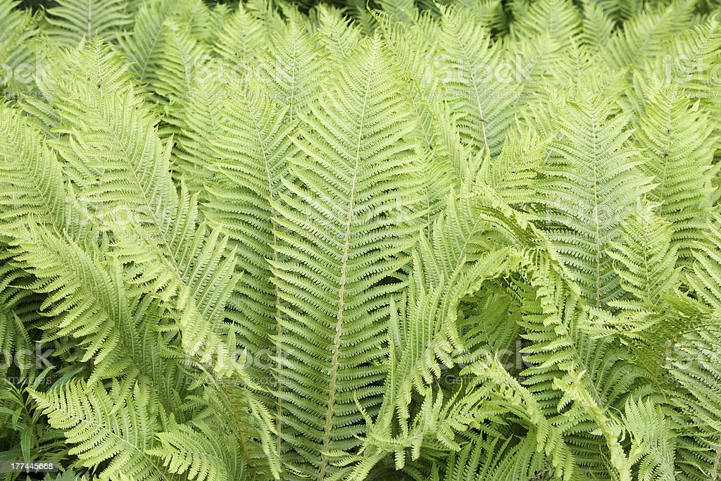 The ostrich fern (Matteuccia struthiopteris) royalty-free stock photo