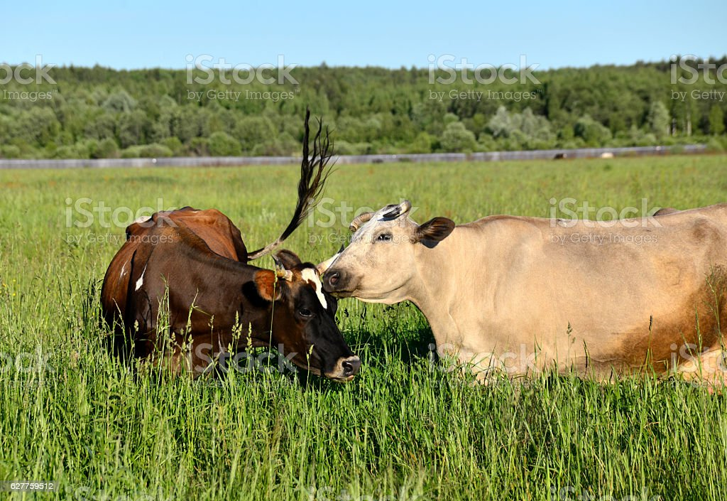 The  сow and calf stock photo
