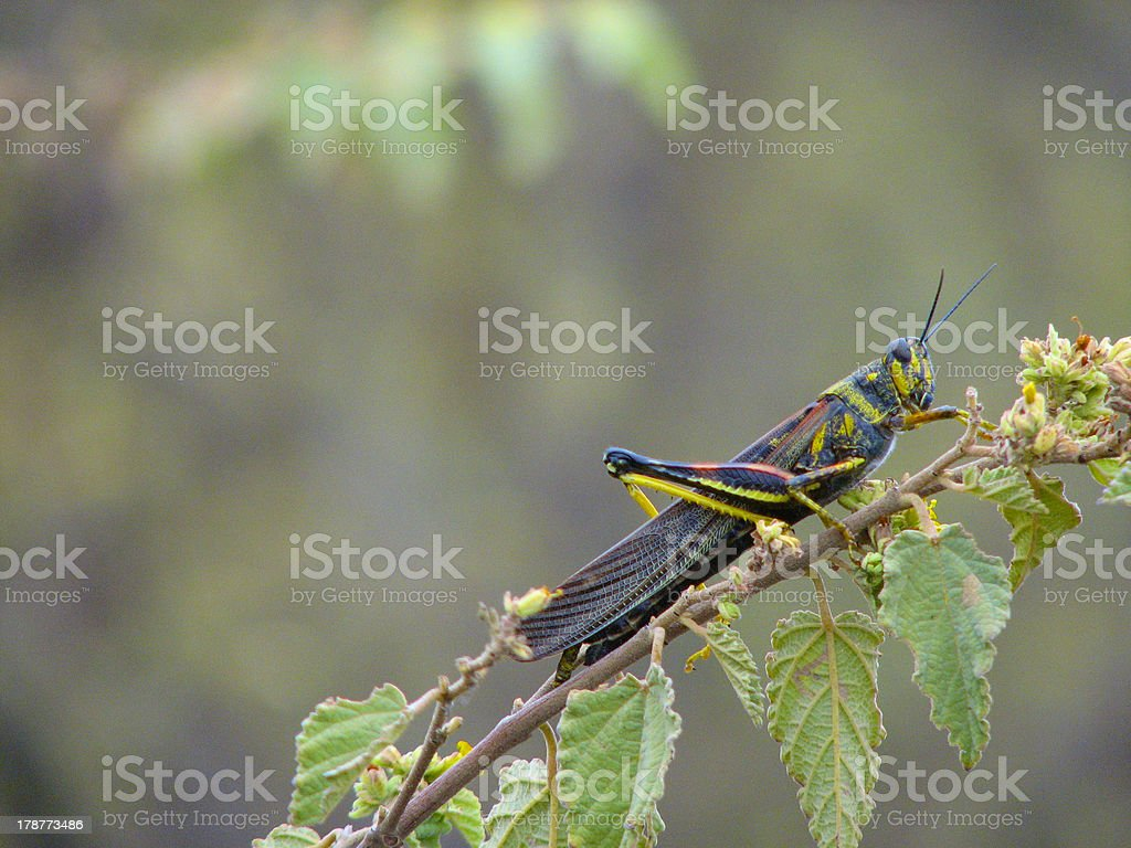 The Painted Locust royalty-free stock photo