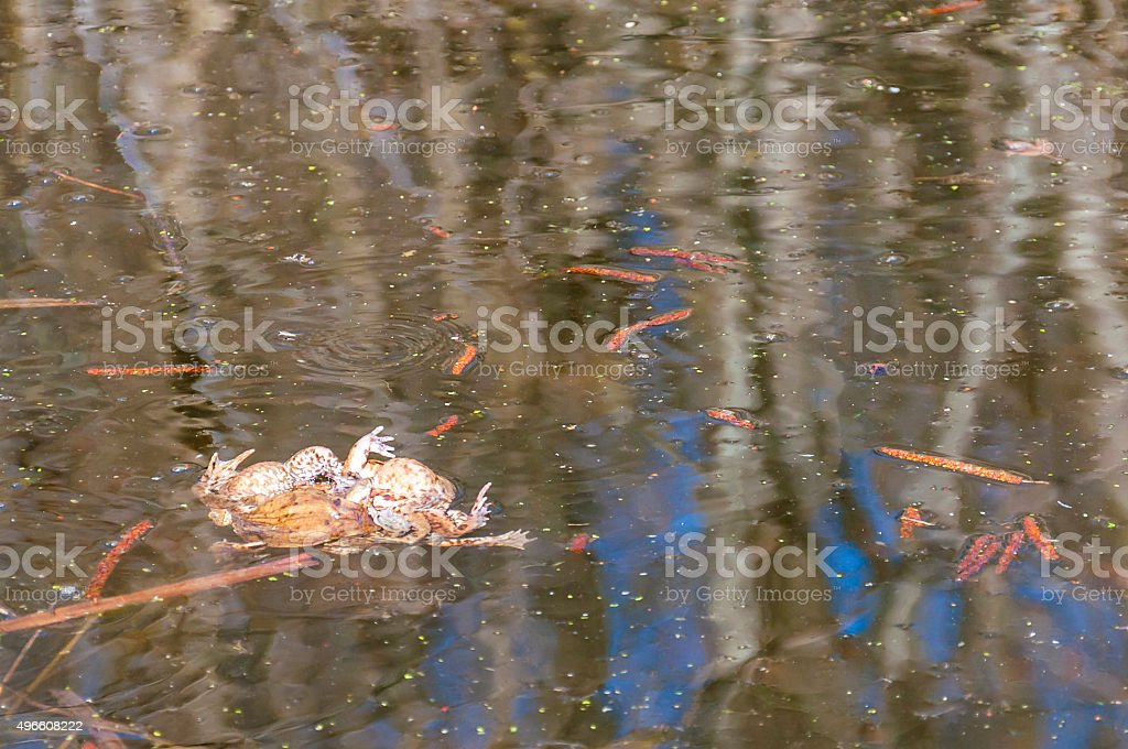 The pairing of common toads, Bugo-bufo orgy in the water. stock photo