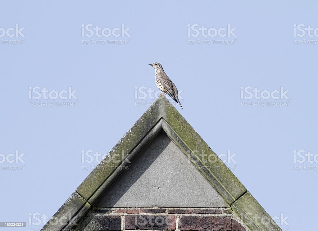Mistle thrush Turdus viscivorus on roof ridge above gable stock photo