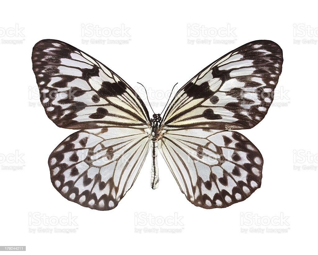 The Paper Kite butterfly stock photo