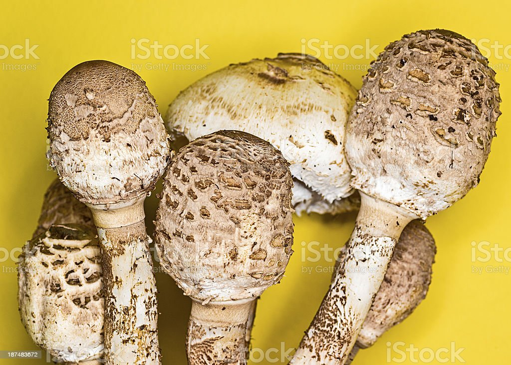 The Parasol Mushroom stock photo