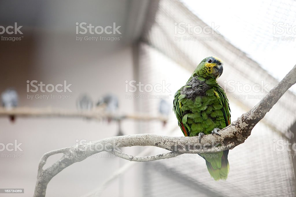 The parrot. royalty-free stock photo