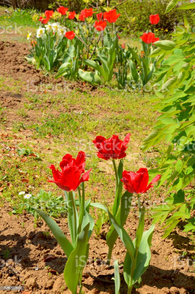 The parrot tulips at the spring stock photo