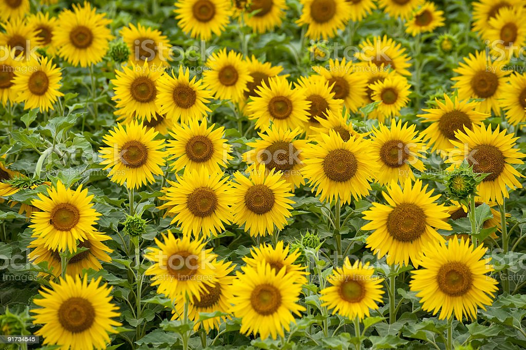 The pattern of sunflowers stock photo