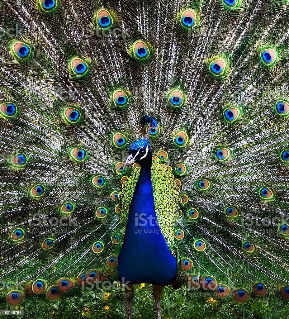 The peacock stock photo