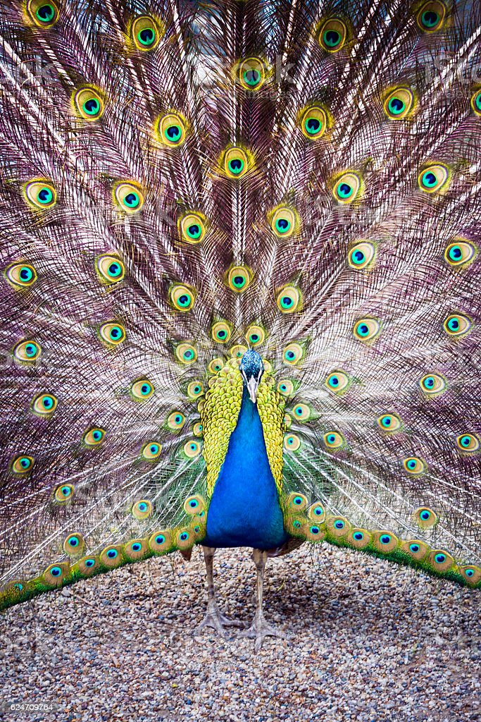 The peacock spreads its magnificent tail. stock photo