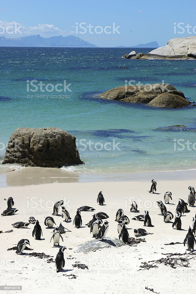 The Penguins of Boulders Beach stock photo