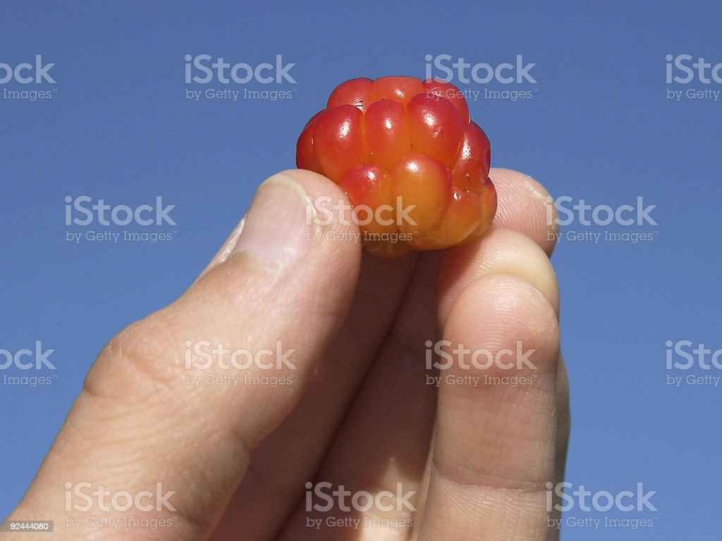 The perfect cloudberry stock photo