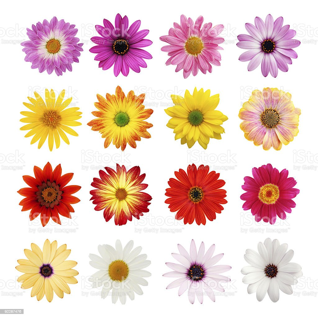 The perfect daisy collection stock photo