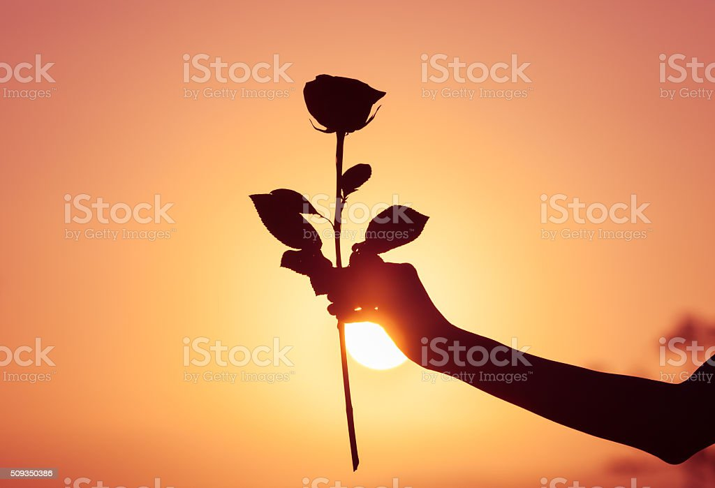 The perfect rose stock photo