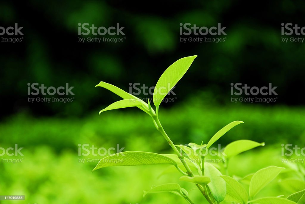 The Perfect Tea Leaf royalty-free stock photo