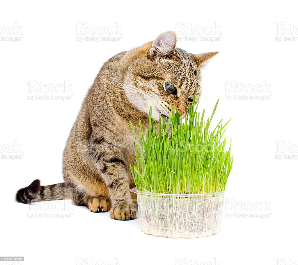 The pet cat eating fresh grass stock photo