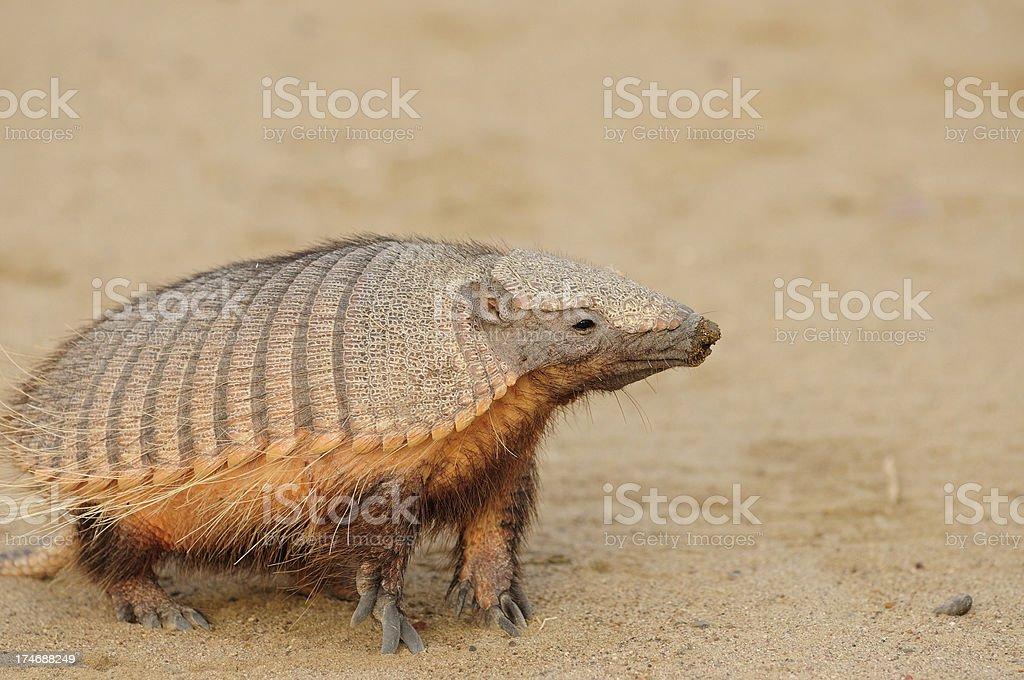 The Pichi or Dwarf Armadillo stock photo