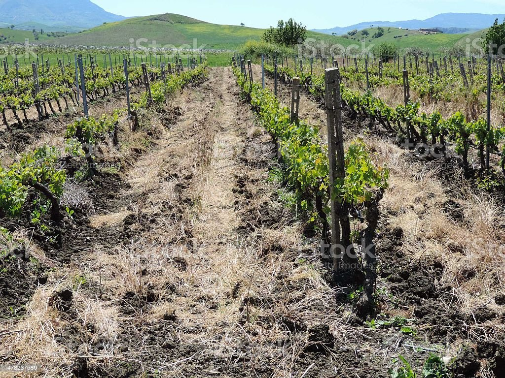 The picturesque landscape with a vineyard stock photo