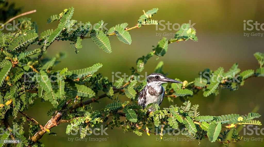 The Pied Kingfisher on a tree branch. stock photo
