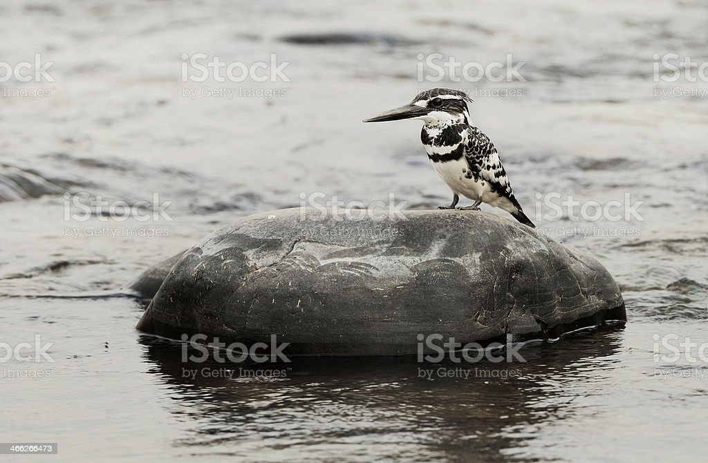 The Pied Kingfisher (Ceryle rudis) stock photo