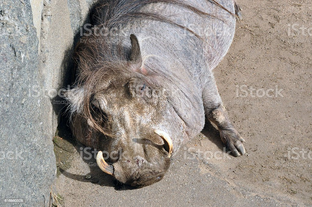 The pig always find dirt. And the boar especially stock photo