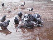 The pigeons in moraas