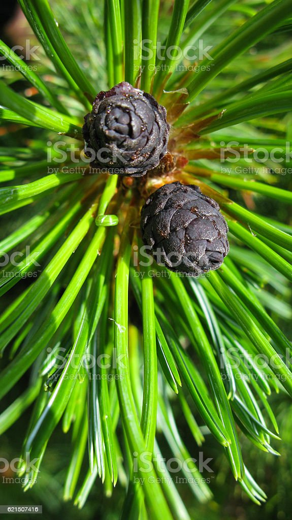 The pine and branch of dwarf cedar tree, Kunashir, Russia stock photo