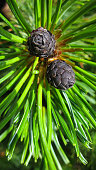 The pine and branch of dwarf cedar tree, Kunashir, Russia