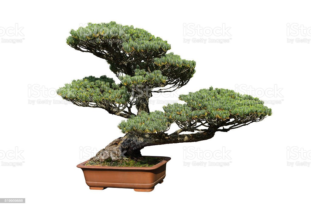 The pine tree bonsai stock photo