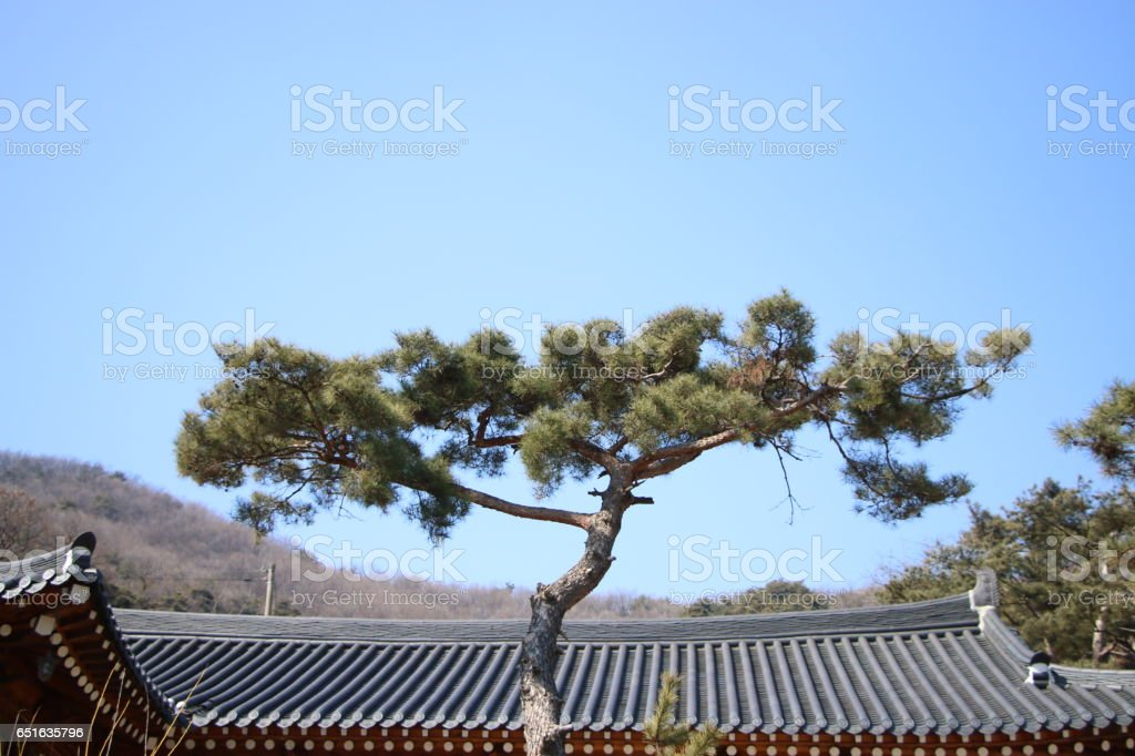 The pine tree in the front of the temple. stock photo