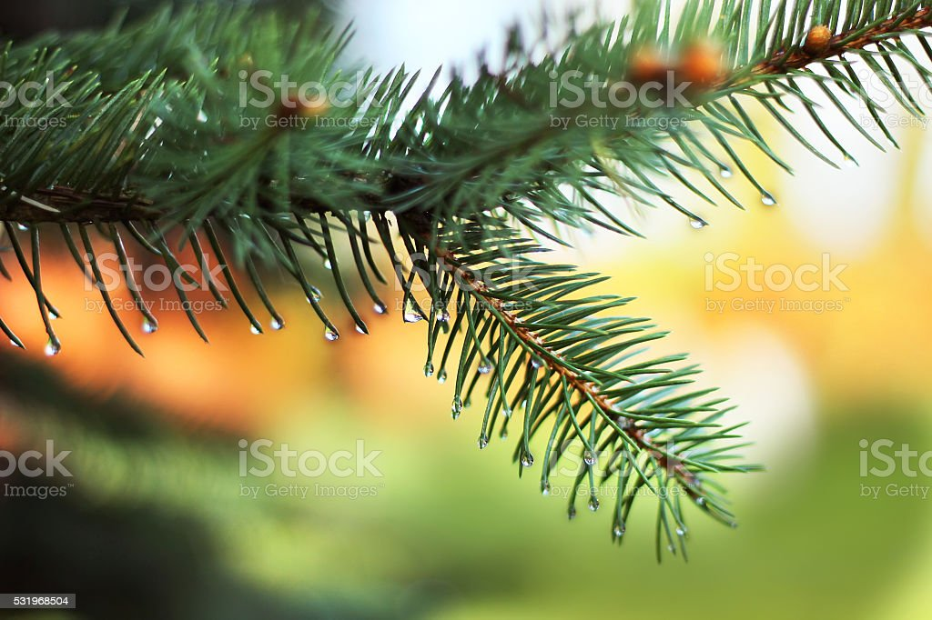 The pine tree in water drops after the rain royalty-free stock photo