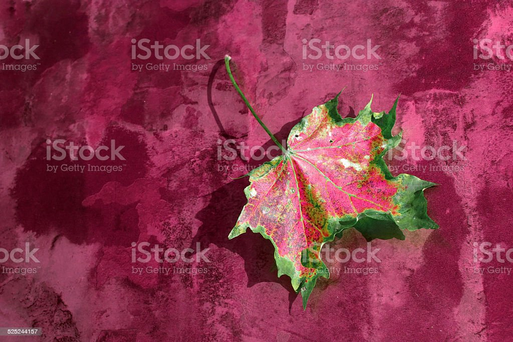 the pink autumn leaf stock photo