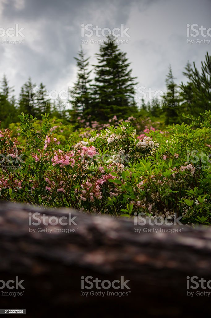 The Pink Azaleas of Dolly Sods stock photo