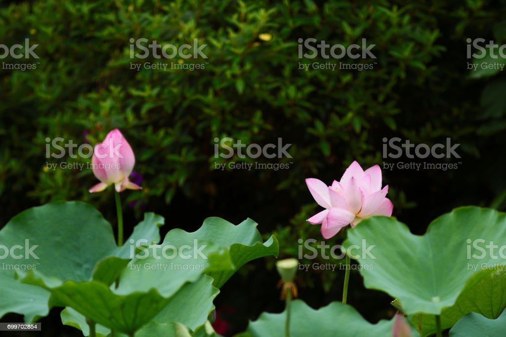 the pink Lotus and green leaf close up stock photo