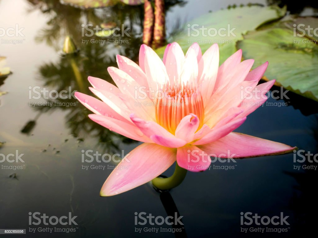 The pink lotus is natural stock photo
