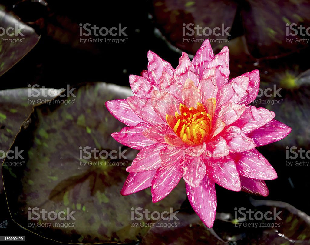 The Pink lotus on pond royalty-free stock photo